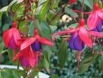 Fuchsia : présentation et conseils de culture