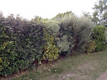 Haie variée : choix d'arbustes