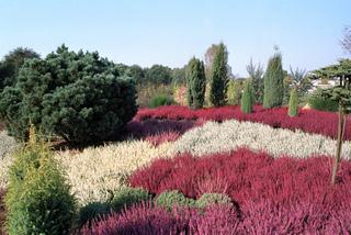 Bruyères en fleurs (Calluna vulgaris)