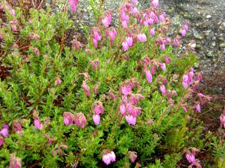 Daboecia cantabrica (bruyère d'Irlande)