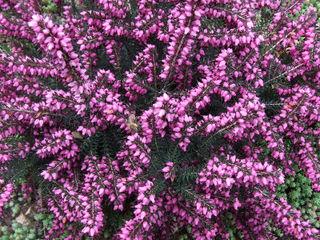 Erica x darleyensis 'Kramer's Rote' (bruyère hybride)