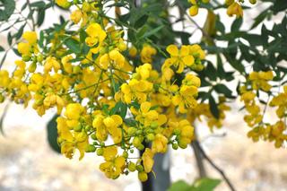 Fleurs de Cassia corymbosa