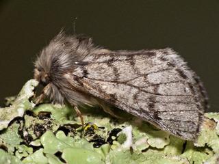 Papillon mâle (Thaumetopeae pityocampa)