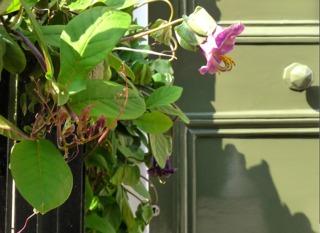 Cobée plantée près d'une porte d'entrée