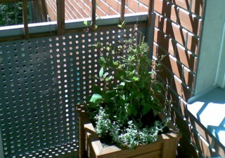 Cobée sur un balcon (mai)