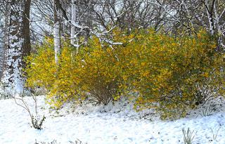 Forsythia fleuri sous la neige