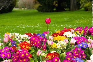 Primevères et tulipes