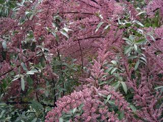 Olivier de Bohême et fleurs de tamaris