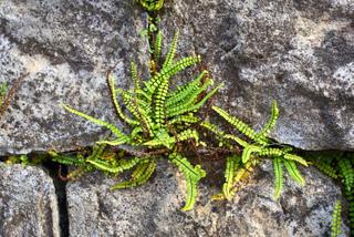 Fougère - Capillaire des murailles