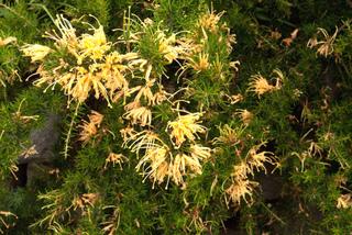 Grevillea juniperina à fleurs jaunes