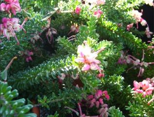 Grevillea nain 'Mount Tamboritha'