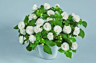 Impatiens Musica® Blanc Pur / Jardin Express
