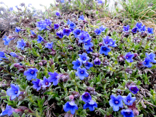 Lithodora diffusa, Grémil : plantation et culture