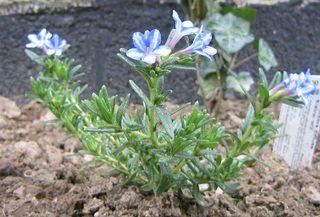 Lithodora diffusa : plant récemment installé