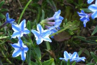 Lithodora diffusa 'Star'