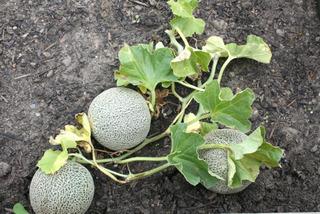 Melons brodés
