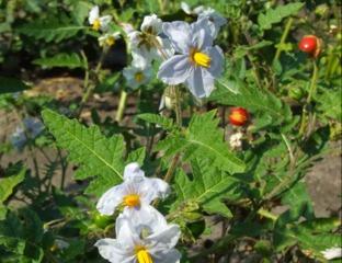 Morelle de Balbis (Solanum sisymbriifolium)