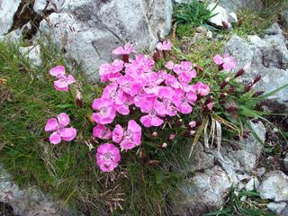 Oeillet des Alpes - Dianthus alpinus