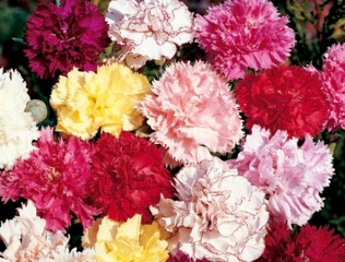 Oeillet des fleuristes Chabaud