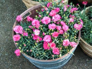 Oeillet des fleuristes - Dianthus caryophyllus