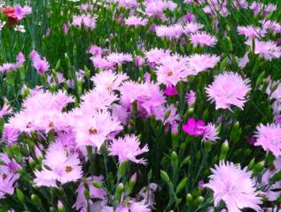 Oeillet mignardise - Dianthus plumarius