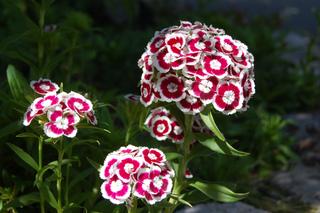 Oeillet de poète - Dianthus barbatus