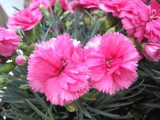 Oeillet - Dianthus caryophyllus