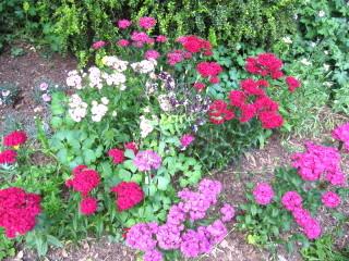 Oeillets de poète - Dianthus barbatus