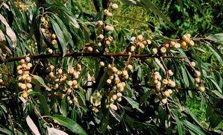 Fruits de l'olivier de Bohême (Elaeagnus angustifolia)