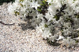 Paillage de gravier blanc au pied d'azalées