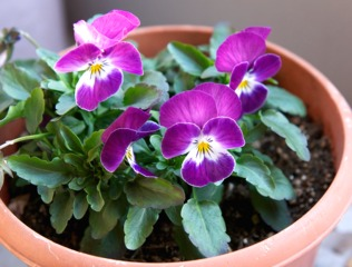 Pensées (Viola x wittrockiana)