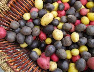 Légumes originaux : pommes de terre colorées