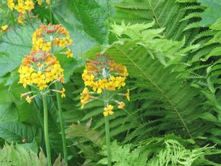 Primevère candélabre, Primula bulleyana