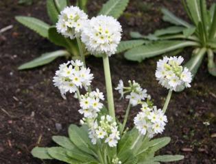 Primevère denticulée, Primula denticulata