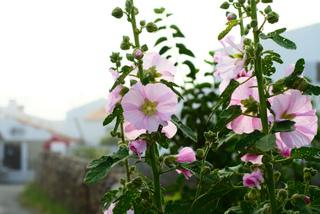 Rose trémière - Althea rosea