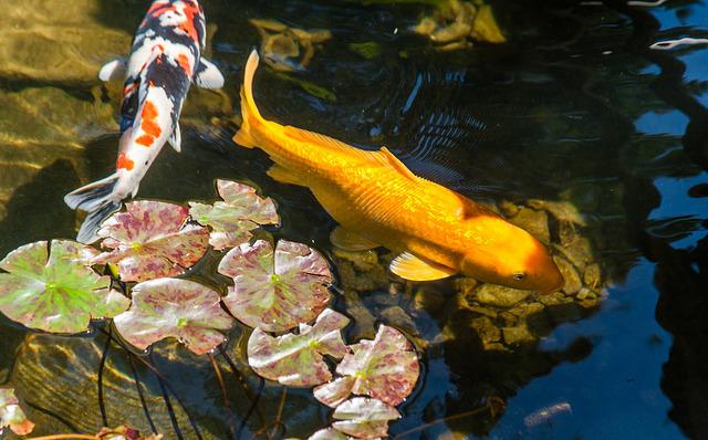 Les carpes koï, reines des bassins japonais (Créer un jardin ...
