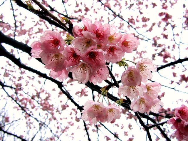 Rose tendre et frais (Le réveil du jardin)