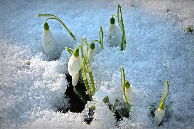 Courageux perce-neige (Le réveil du jardin)