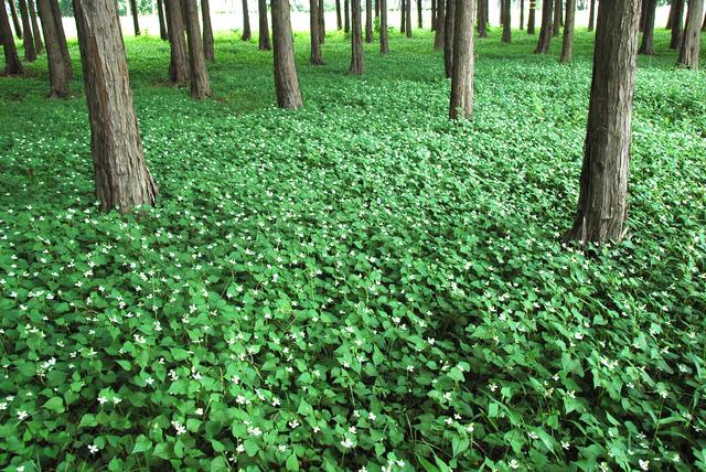 Houttuynia cordata plantation et culture # Plantes De Sous Bois Liste