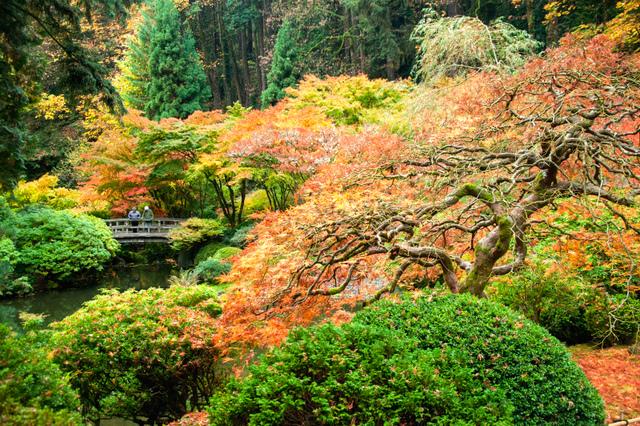 buis et rable du japon incontournables cr er un jardin japonais. Black Bedroom Furniture Sets. Home Design Ideas
