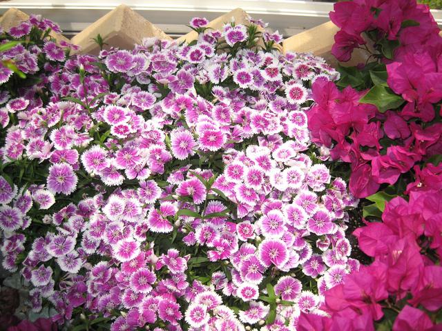 Fleurs oeillets de chine - Oeillet de chine ...