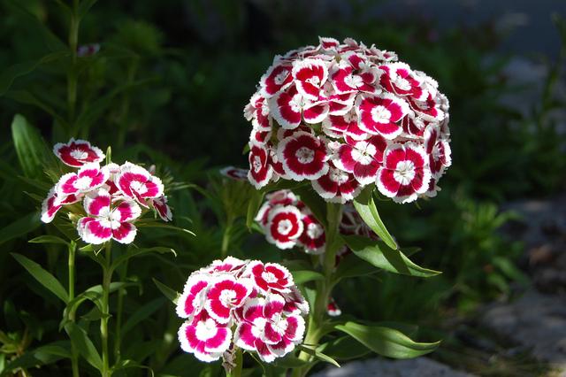 Fleurs oeillets - Oeillets de poete ...