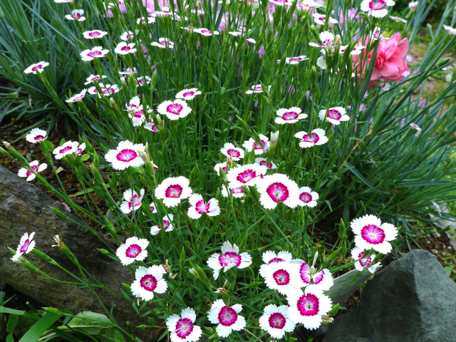 Fleurs oeillets de chine - Vivaces de rocaille avec photo ...