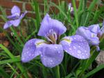 Iris d'Alger, Iris unguicularis