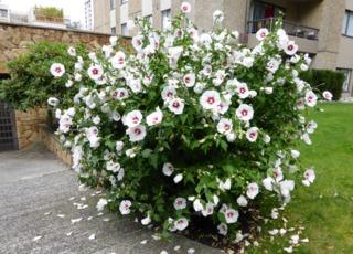 Hibiscus syriacus - Althéa