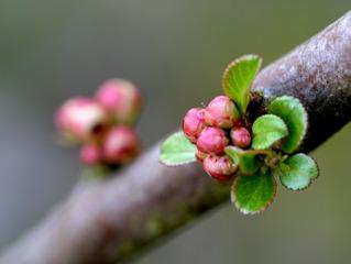 Bourgeon floral de cerisier - Débourrement