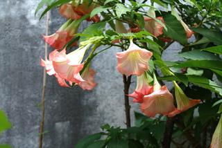 Arbuste froid terrasse fleurs tout - Fleur en forme de trompette ...