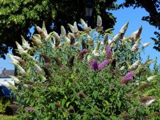Buddleias blanc et mauve