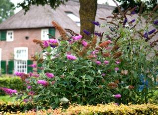 Buddléias : variétés horticoles rose et violet