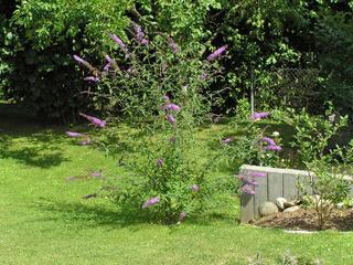 Buddléia au jardin